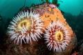 A pair of fish-eating anemones of California's Big Sur coast.