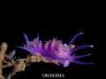 Nudibranchia makro