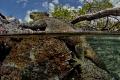 Marine iguana (Amblyrhynchus cristatus) is basking on lava rock (Concha Perla, Isla Isabela, Galápagos)