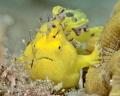 Peewee Juvenile Longlure Frogfish Antennarius multiocellatus