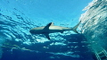 Sharks Up!