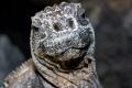 Curious Marine Iguana (Amblyrhynshcus cristatus)(Isla Isabela, Galapagos)
