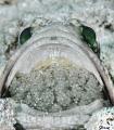 The scoop Banded jawfish Opistognathus macrognathus