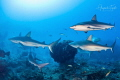 Sharks and the Reef  Gardens of the Queen Cuba