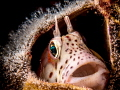 Small blenny in an empty barnacle