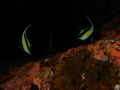 Banner fishes on dark