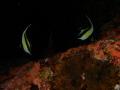 Banner fishes on dark