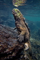 Return from deep   Marine iguana  Amblyrhynchus cristatus  before the first breath after returning from depth  Concha Perla  Isla Isabela  Galapagos .