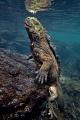 Return from deep   Marine iguana  Amblyrhynchus cristatus  before the first breath after returning from depth  Concha Perla  Isla Isabela  Galapagos .