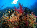Red sea soft corals