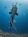 Angles - Bump-Head Sunfish - Mola alexandrini - Gilli Mimpang, Bali, Indonesia