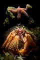 Common marine hermit crab (Pagurus bernhardus), Oosterschelde, Zeeland, The Netherlands. Double exposure in camera.