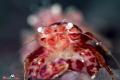 Porcelain crab pregnant