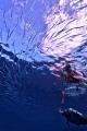 needle fish