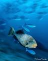 Yellowmargin Triggerfish in the Maldives.