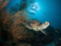 This green turtle found a very comfortable black coral bush.