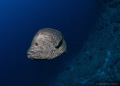 Sailfin grouper