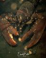 Common lobster, kreeft, homarus gammarus