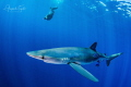 Blue Shark and Diver  Cabo San Lucas Mexico