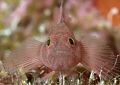 Rusty Goby  Priolepis hipoliti Bonaire Netherlands Antilles
