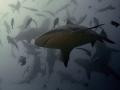 Bull shark dance