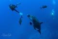 Dolphin with Divers and Jacks, San Benedicto Island México