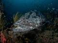 Make Room  Malabar Grouper   Epinephelus malabaricus  Sail Rock  Thailand