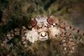 Boxer crab  Lybia tessellata  Ambon  Indonesia