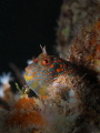 Tessellated Blenny, Hypsoblennius invemar, Lauderdale-by-the-Sea, Florida