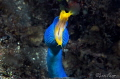 Blue Ribbon Eel/Photographed with a 60 mm macro lens at Lembeh, Indonesia.
