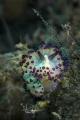 Nudibranch Janolus sp.
