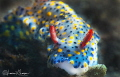 Hypselodoris infucata/Photographed with a Canon 60 mm macro lens at Lembeh  Indonesia