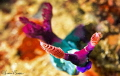 Nembrotha chamberlaini/Photographed with a Canon 60 mm macro lens and SMC 1 with low f stop for bokeh effect.