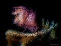 Hairy shrimp  Phycocaris simulans