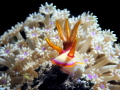 Chromodoris Iba  Tulamben Bali  WonderDiveBali