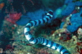 Yellow-Lipped Sea Krait/Photographed with a Canon 60 mm macro lens at Puerto Galera, Philippines.