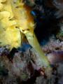 Seahorse, Hippocampus jayakari, Red Sea