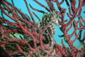 Lined seahorse in the soft coral.