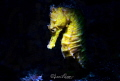 Sea horse/Photographed with a Canon 60 mm macro lens and Retra snoot at Lembeh, Indonesia