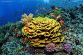 Beautiful coral reef with a big yellow coral of Turbinaria.