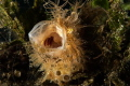 With a bit of patience I managed to catch this yawning Hairy Frogfish. Nikon D7200, 60mm macro lens 1/250s f 20. Ikelite housing, dual DS 161 strobes