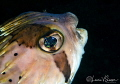 Porcupinefish/Photographed with a Canon 60 mm macro lens at San Nicolas in San Carlos, Sonora, Mexico