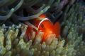 Spinecheek Anemonefish, Premnas biaculeatus, Great Barrier Reef, Australia