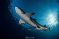 Lemon shark and sunlight