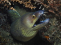 Purplemouth MorayEel, Gymnothorax vicinus
