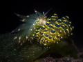 Costasiella kuroshimae vs Stiliger ornatus Tulamben, Bali