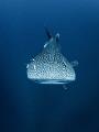 Teardrop  Whale Shark - Rhincodon typus  Sail Rock, Thailand