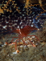 Peppermint Shrimp with a Spotted Moray Eel s tail as background  Blue Heron Bridge  Florida