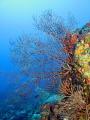 Deep Sea Fans, French Cap Island, U.S. Virgin Islands