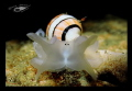 Black Eyes shrimp... amplustrum amplustre
